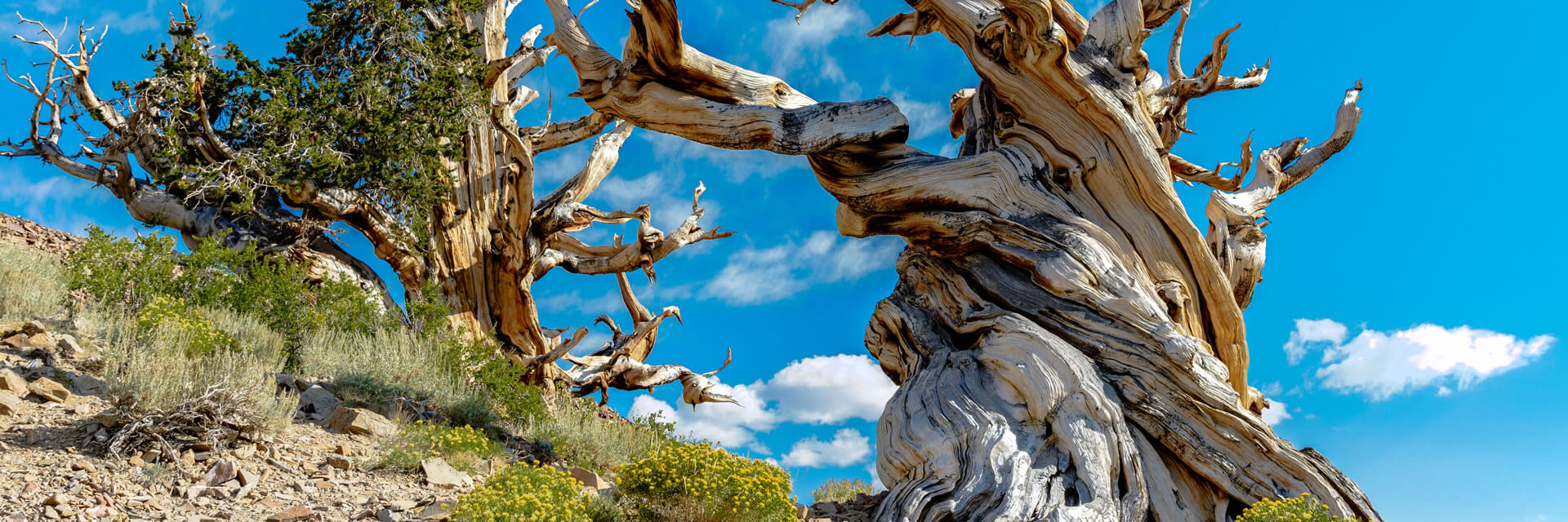 Close-up of a bristlecone pine stree trunk with blue sky, puffy clouds