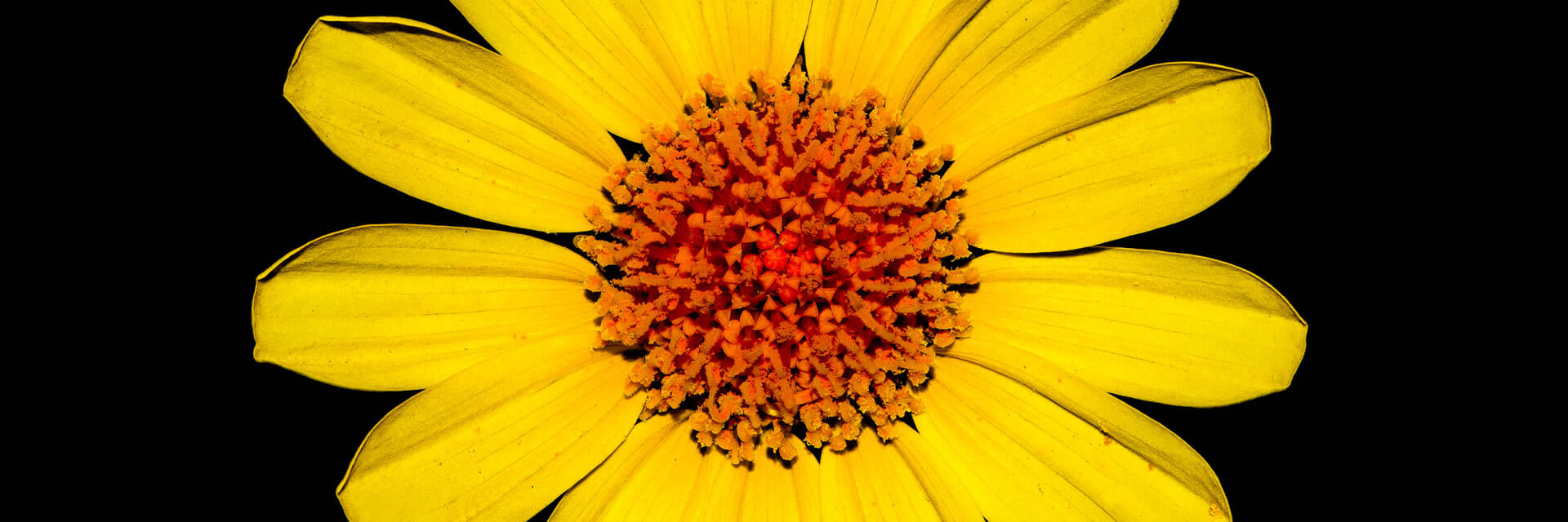Close up of the orange center of a yellow flower