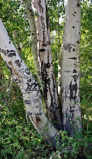 Arborglyph by sheep herders on aspen trees