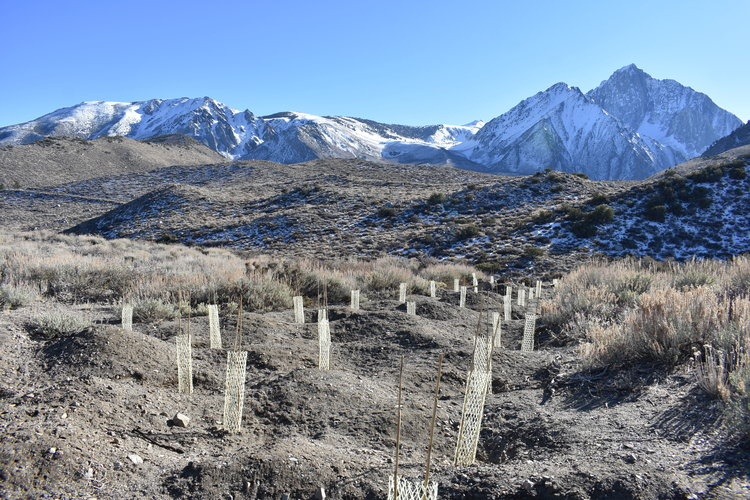 Baby trees planted near Convict Lake with snowy mountains in the background
