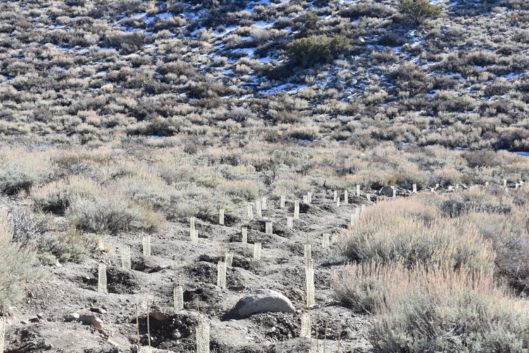 Tree starts planted on Convict Lake hillside