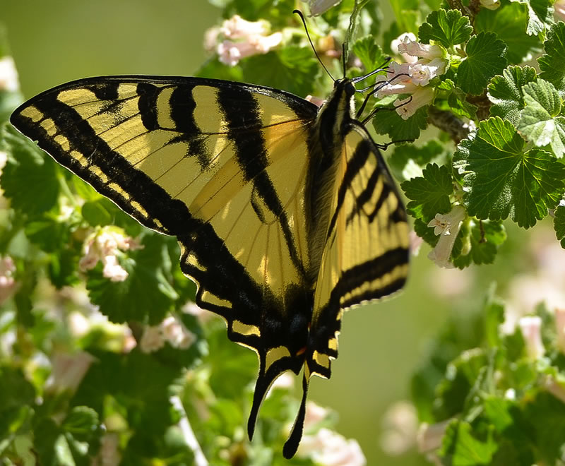 Swallowtail butterfly on a flowery branch