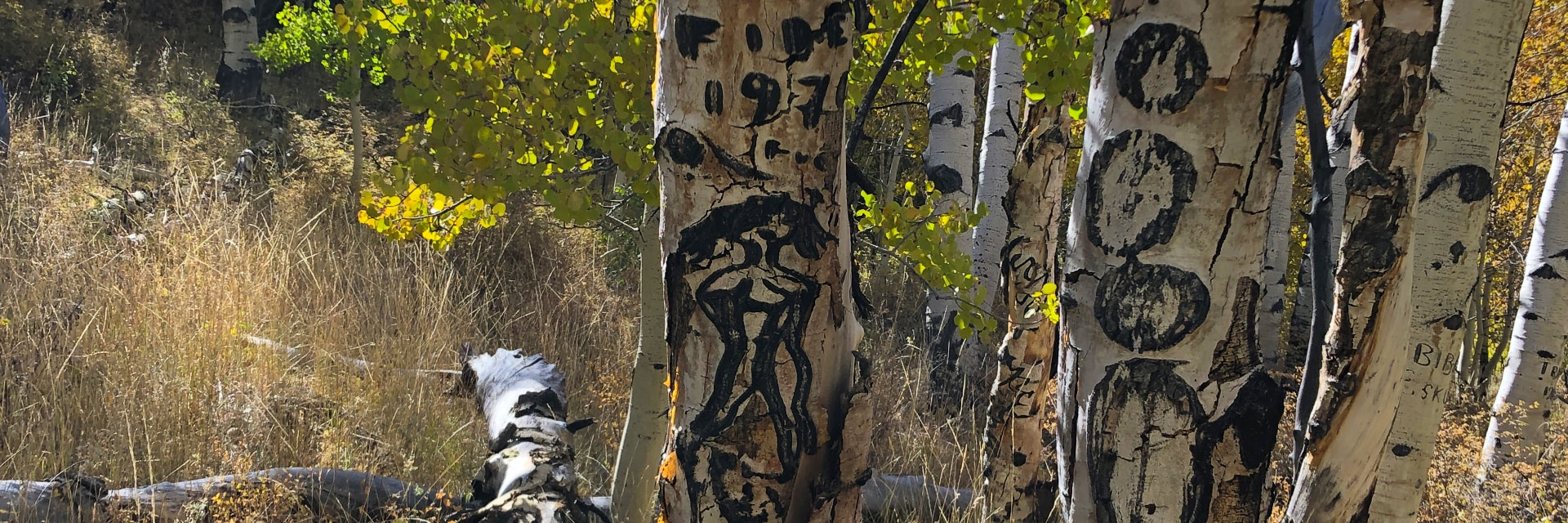 Arborglyphs cut by sheep herders